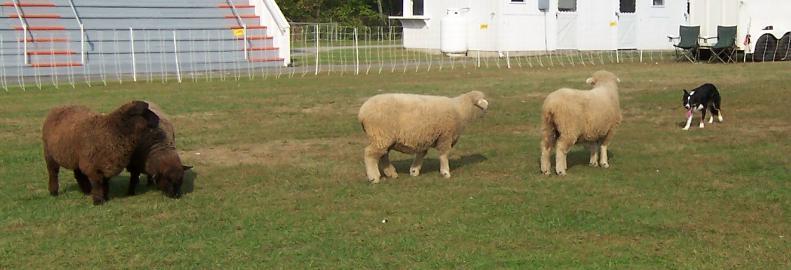 Border Collies & Sheep Herding Demonstrations